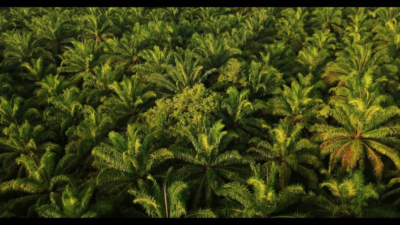 Citizens Save Forests: How Palm Oil Plantations stop Deforestation