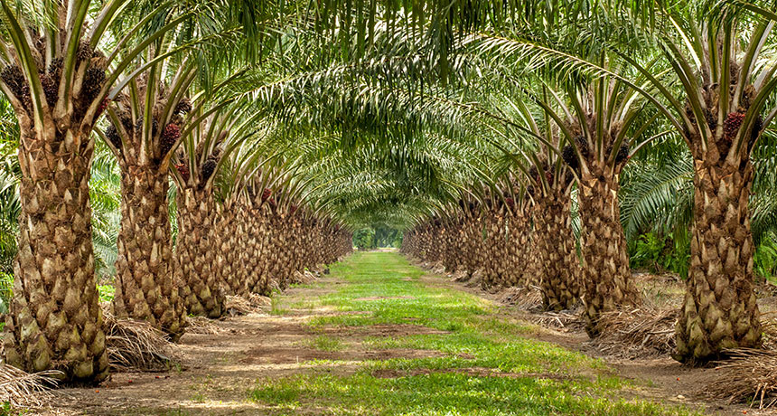 Effects of Palm oil on the Environment; The Truth Behind the Lies