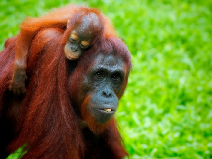 International Orangutan Day: How We Can Save Them